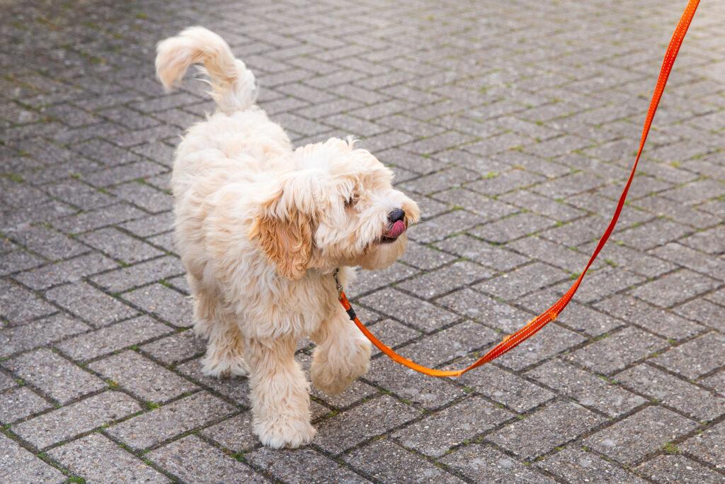 Labradoodle on leash training