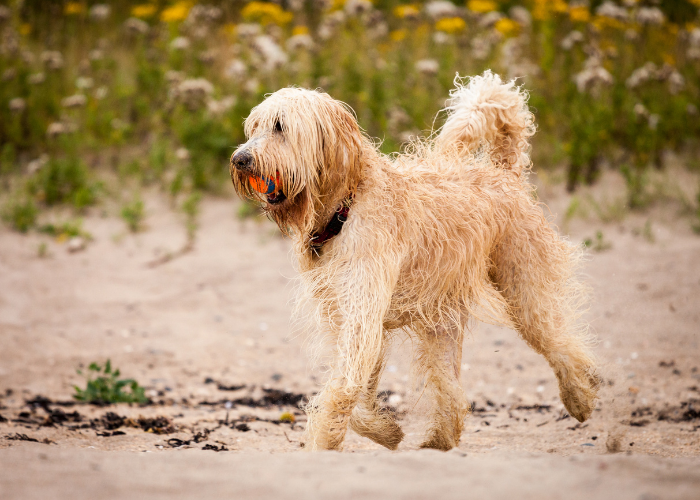 Labradoodle training tips