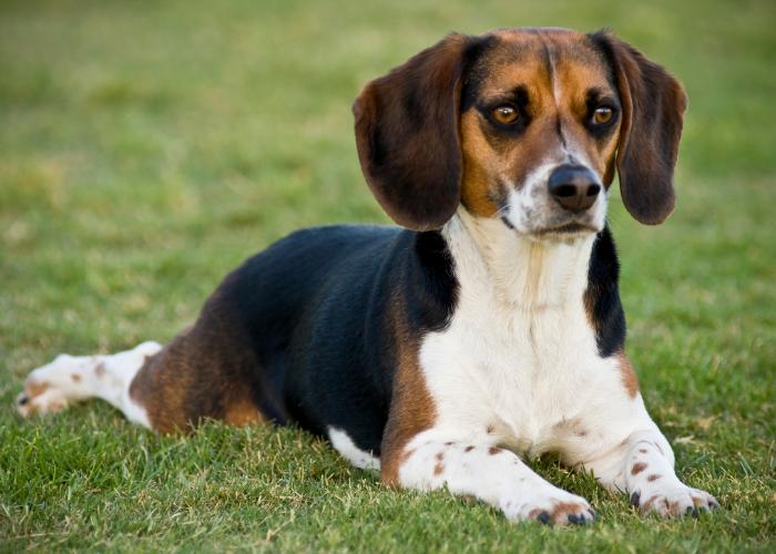 best food for senior beagle