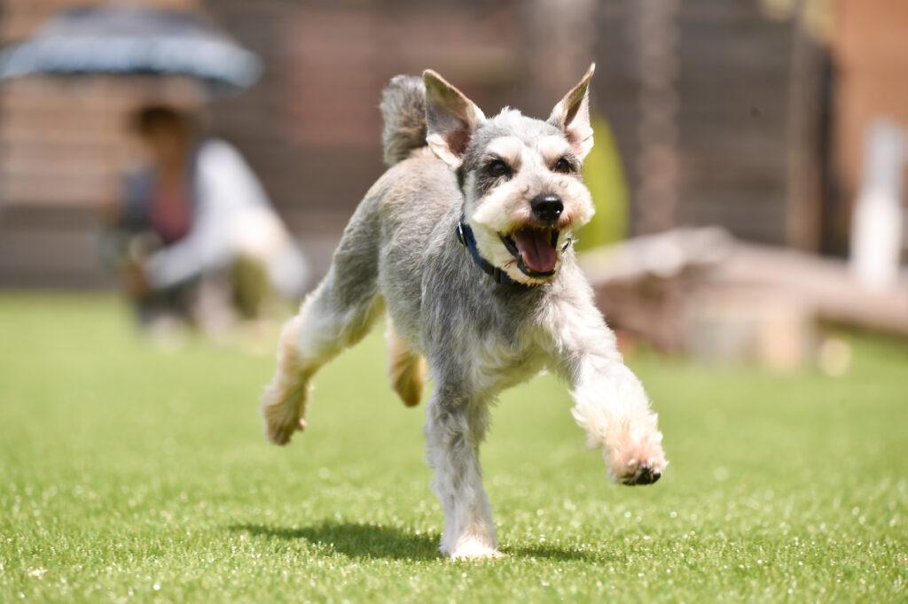 schnauzer dog running