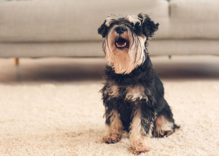 cute schnauzer dog