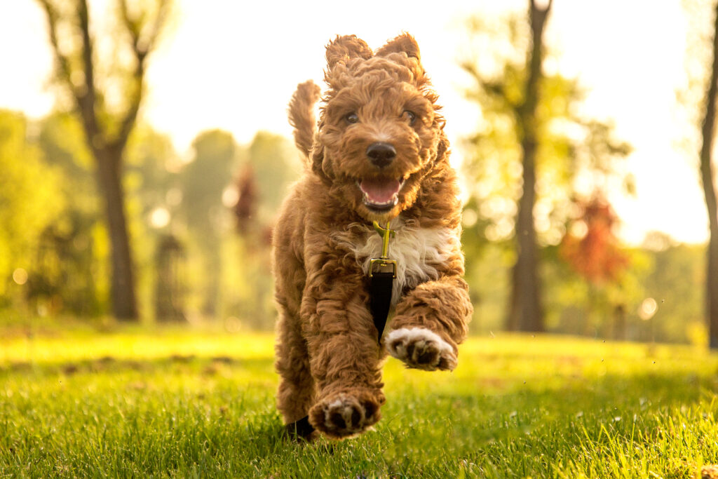 cute goldendoodle puppy running