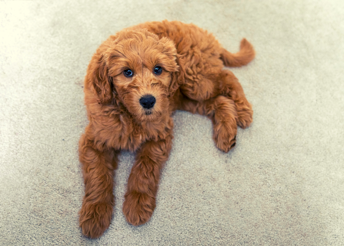 best food for your goldendoodle puppy