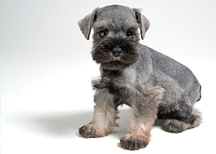 cute schnauzer puppy